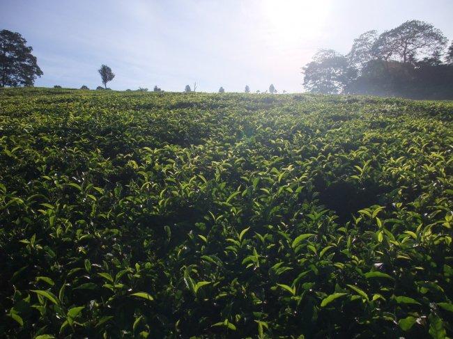 Sunny Tea Plantation